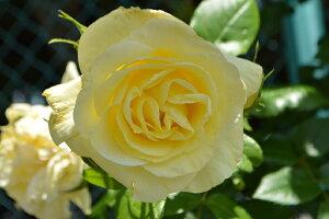イルミナーレ(大苗予約)7号鉢植え  四季咲き大輪系 つるバラ バラ苗