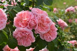桜衣(さくらごろも)(大苗予約)7号鉢植え 返り咲き つるバラ バラ苗