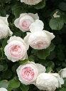クリスティアーナ(大苗)7号鉢植え つるバラ バラ苗