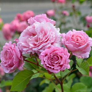 ビアンヴニュ(大苗予約)7号鉢植え デルバール(Delbard) フレンチローズ バラ苗 四季咲き