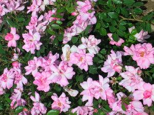 サントネール・ドゥ・ルルド・ローズ(大苗予約)7号鉢植え デルバール(Delbard) フレンチローズ 四季咲き バラ苗