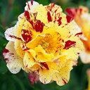 カミーユ・ピサロ (大苗)7号鉢植え デルバール(Delbard) フレンチローズ 四季咲き バラ苗