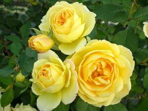 カスク・ドール(大苗予約)7号鉢植え デルバール(Delbard) フレンチローズ 四季咲き バラ苗