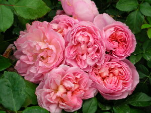 ダム・ドゥ・シュノンソー(新苗)6号鉢植え デルバール(Delbard) フレンチローズ 四季咲き バラ苗