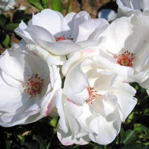 ドミニク・ロワゾ (大苗予約)7号鉢植え デルバール(Delbard) フレンチローズ 四季咲き バラ苗
