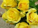 デューン(大苗)7号鉢植え つるバラ デルバール(Delbard) フレンチローズ 四季咲き バラ苗