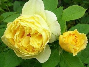 フランス・アンフォ(大苗予約)7号鉢植え デルバール(Delbard) フレンチローズ 四季咲き バラ苗