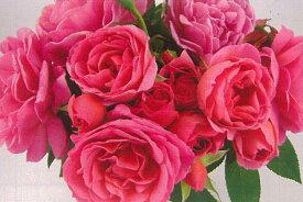 ジェネラシオン・ジャルダン(大苗予約)7号鉢植え デルバール(Delbard) フレンチローズ 四季咲き バラ苗