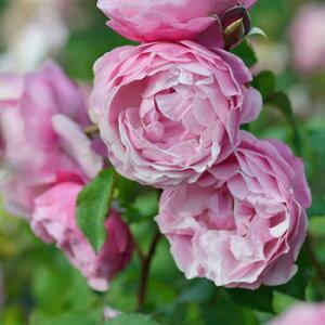サント・ノーレ(大苗予約)7号鉢植え デルバール(Delbard)フレンチローズ  四季咲き バラ苗