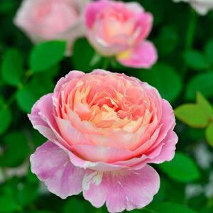 クロード・モネ(大苗)7号鉢植え デルバール(Delbard) フレンチローズ 四季咲き バラ苗