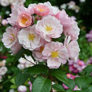 マドモアゼル(大苗)7号鉢植え デルバール(Delbard) フレンチローズ 四季咲き バラ苗