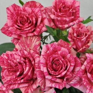 ピンク・インテューション(大苗予約)7号鉢植え デルバール(Delbard) フレンチローズ 四季咲き バラ苗