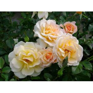 テレトン(大苗)7号鉢植え デルバール(Delbard) フレンチローズ 四季咲き バラ苗