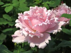 ソフィー・ロシャス(大苗予約)7号鉢植え デルバール(Delbard) フレンチローズ 四季咲き バラ苗