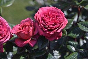 ヴィウー・ローズ(新苗)6号鉢植え デルバール(Delbard) フレンチローズ 四季咲き バラ苗