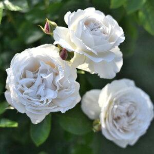 パブロワ(大苗予約)7号鉢植え デルバール(Delbard) フレンチローズ 四季咲き バラ苗