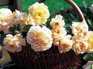 ジャルダン・ドゥ・レソンヌ(大苗予約)7号鉢植え デルバール(Delbard) フレンチローズ 四季咲き バラ苗