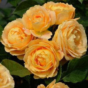 ラ・ドルチェ・ヴィータ(大苗予約)7号鉢植え デルバール(Delbard) フレンチローズ バラ苗 四季咲き