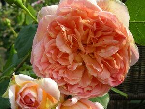パピ・デルバール(大苗予約)7号鉢植え つるバラ デルバール(Delbard) フレンチローズ 四季咲き バラ苗