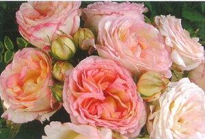 ペッシュ・ボンボン(大苗予約)7号鉢植え デルバール(Delbard) フレンチローズ 四季咲き バラ苗