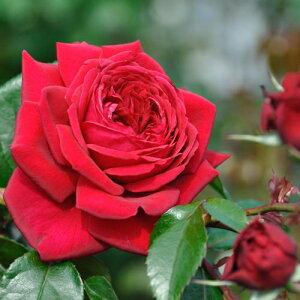 リパブリック・ドゥ・モンマルトル(大苗予約)7号鉢植え デルバール(Delbard) フレンチローズ 四季咲き バラ苗