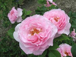 スヴニール・ドゥ・ルイ・アマード(大苗予約)7号鉢植え デルバール(Delbard) フレンチローズ 四季咲き バラ苗