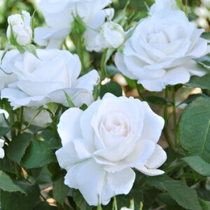 アンナ・プルナ(大苗予約)7号鉢植え バラ苗 四季咲き 白花 Anna Purna ドリュ Dorieux
