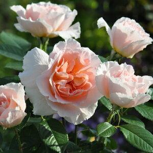 クール・ドゥ・ナクレ(大苗予約)7号鉢植え バラ苗 四季咲き アプリコット ドリュ Dorieux