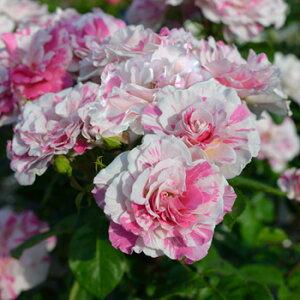 バランゴ(大苗予約)7号鉢植え 四季咲き ドリュ Dorieux バラ苗