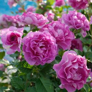 ラヴァンデ・パルフュメ(大苗予約)7号鉢植え 四季咲き 紫 Violette Parfumee ドリュ Dorieux バラ苗