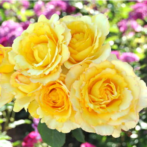 ヴァンデ・グローヴ(大苗予約)7号鉢植え バラ苗 四季咲き 黄色 Vende Globe ドリュ Dorieux