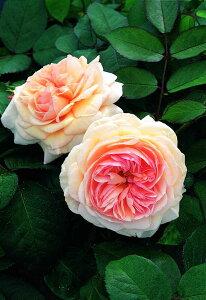 ア・シュロップシャイア・ラド(大苗)7号鉢植え イングリッシュローズ(デビッド・オースチンローズ) つるバラ バラ苗