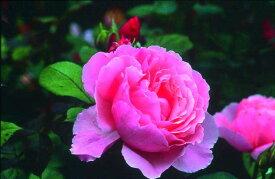 ブラザー・カドフィール(大苗予約)7号鉢植え イングリッシュローズ(デビッド・オースチンローズ) つるバラ バラ苗