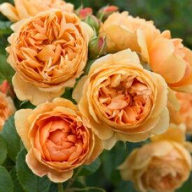キャロリン・ナイト(大苗予約)《2014年新品種》7号鉢植え イングリッシュローズ(デビッド・オースチンローズ) バラ苗