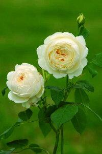 クレア・オースチン(大苗予約)7号鉢植え イングリッシュローズ(デビッド・オースチンローズ) つるバラ バラ苗