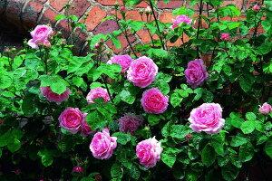コンスタンス・スプライ(大苗予約)7号鉢植え イングリッシュローズ(デビッド・オースチンローズ) つるバラ バラ苗