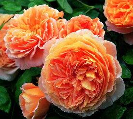 クラウン・プリンセス・マルガリータ(大苗予約)7号鉢植え イングリッシュローズ(デビッド・オースチンローズ) つるバラ バラ苗