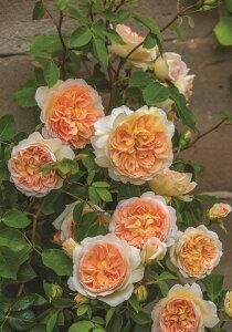 バスシーバ(大苗予約)7号鉢植え イングリッシュローズ(デビッド・オースチンローズ) つるバラ バラ苗