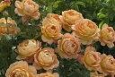 レディ・オブ・シャーロット(大苗)7号鉢植え《2009年新品種》 イングリッシュローズ(デビッド・オースチンローズ) バラ苗