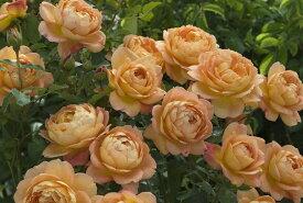 レディ・オブ・シャーロット(大苗予約)7号鉢植え《2009年新品種》 イングリッシュローズ(デビッド・オースチンローズ) バラ苗
