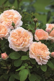 ザ・レディ・ガーデナー(大苗予約)《2014年新品種》7号鉢植え イングリッシュローズ(デビッド・オースチンローズ) バラ苗