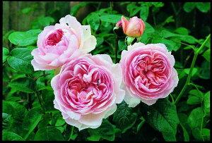 ジェントル・ハーマイオニー(大苗予約)7号鉢植え イングリッシュローズ(デビッド・オースチンローズ) バラ苗