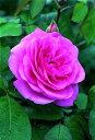 ガートルード・ジェキル(大苗)7号鉢植え イングリッシュローズ(デビッド・オースチンローズ) つるバラ バラ苗