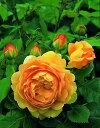 ゴールデン・セレブレーション(大苗予約)7号鉢植え イングリッシュローズ(デビッド・オースチンローズ) つるバラ バラ苗