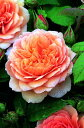 グレイス(大苗)7号鉢植え イングリッシュローズ(デビッド・オースチンローズ) バラ苗