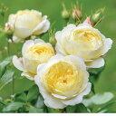 ヴァネッサ・ベル(大苗)《2018年新品種》 7号鉢植え イングリッシュローズ(デビッド・オースチンローズ) バラ苗