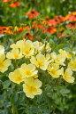 トッタリング・バイ・ジェントリー(大苗)7号鉢植え  イングリッシュローズ (デビッド・オースチンローズ) バラ苗 Tottering-by-…