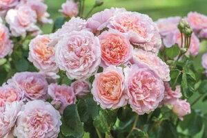 ユーステイシア・ヴァイ Eustacia Vye (Ausegdon) イングリッシュローズ(デビッド・オースチンローズ) バラ苗 7号鉢植え(大苗予約)《2019年最新品種》