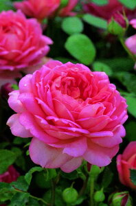 ジュビリー・セレブレーション(大苗予約)7号鉢植え イングリッシュローズ(デビッド・オースチンローズ) バラ苗