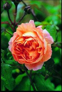 レディ・エマ・ハミルトン(大苗予約)7号鉢植え イングリッシュローズ(デビッド・オースチンローズ) バラ苗